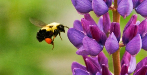 Sales seeds of purple flower being cross-pollinated by bee