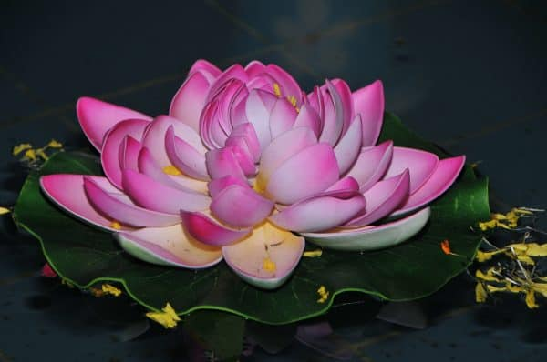 Breaking through illustrated by a white a magenta lotus flower floating upon a leaf in a muddy body of water.