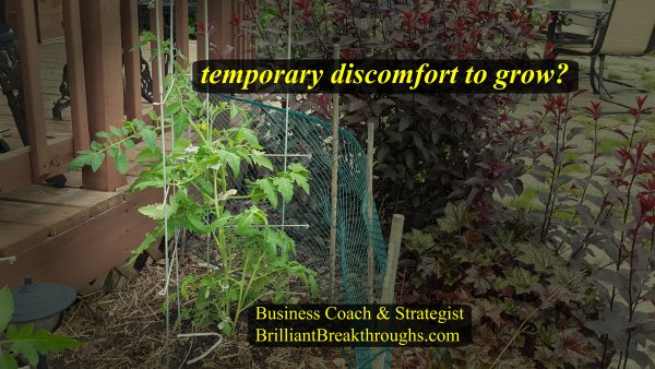 Temporary discomfort to grow your business is illustrated by a newly transplanted tomato plant that is recovering from being in shock due to the transplanting.